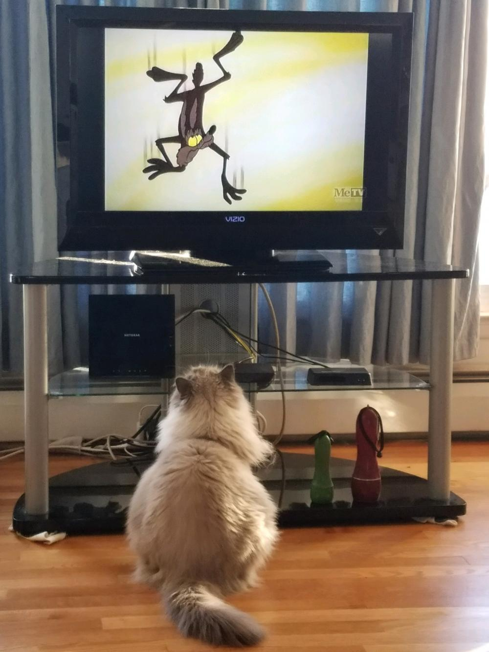Our cat ,  Bear , was watching  Looney Toons with us and was fascinated with Wiley E. Coyote..It is apparently his favorite character , probably because they have the same personality.  :-)